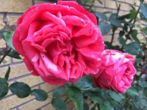 Fortfarande vacker blomning på Ekensbergsvägen 5-7